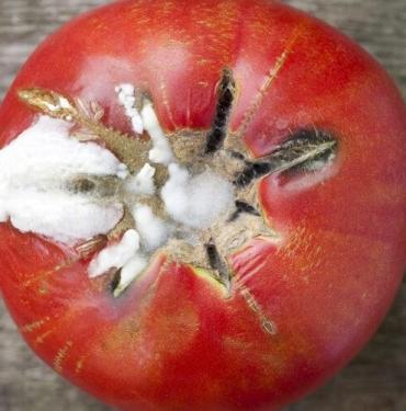 Çürüyen domatesleri atarsanız çok üzülürsünüz! Çürük domateslerle meğer neler neler yapılıyormuş...